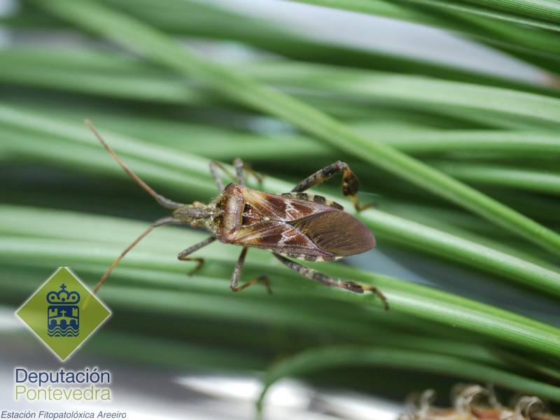 Leptoglossus occidentalis >> Adulto de Leptoglossus occidentalis.jpg